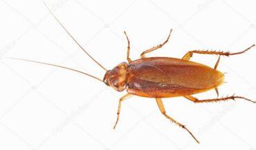 Hábitos Alimenticios de las Cucarachas