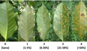 Hemileia Vastatrix (Roya del café)