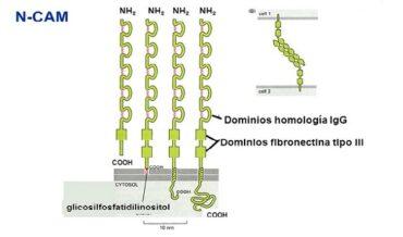 Moléculas de Adhesión - Superfamilia de las Inmunoglobulinas