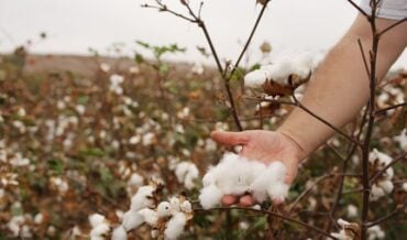 fibra de algodón colombiana