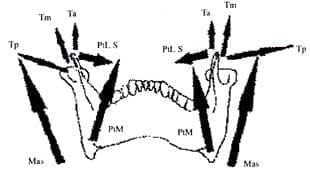 Músculos masticatorios