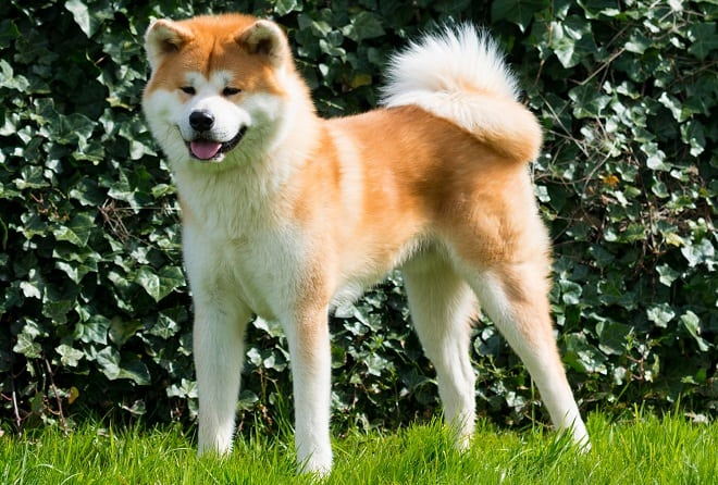 Akita raza de perro