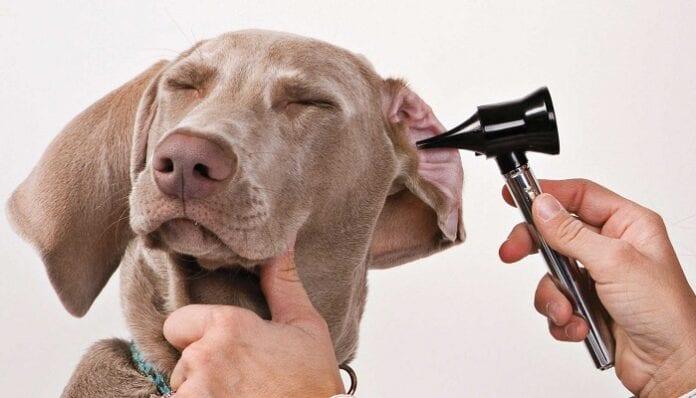 enfermedades del oido en perros