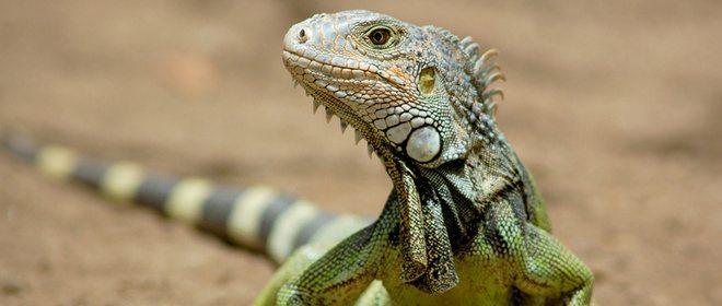 Iguana como Mascota - Características de las Iguanas