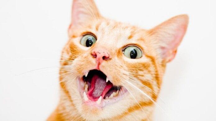 Limpia la Dentadura de tu Gato