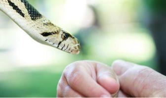 Mordeduras de Serpientes