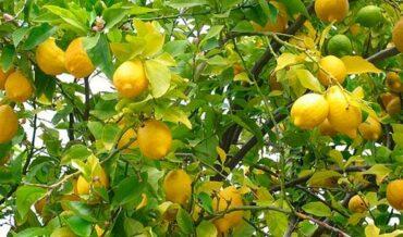 Detección Cancer de citricos