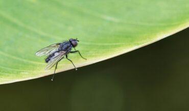 Detección de la mosca de la fruta