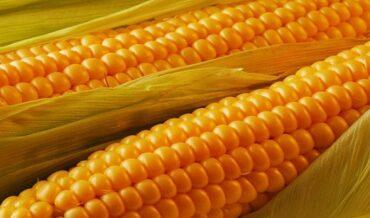 Mazorca maiz