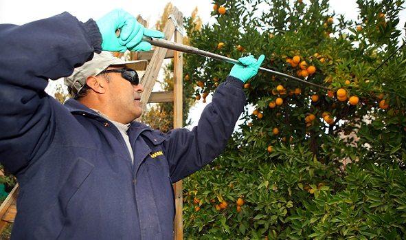 deteccion de la mosca de fruta