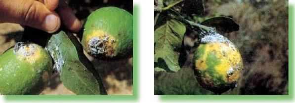Colonias-de-Pseudococcus-limon
