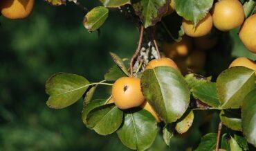 Moscas de la Fruta, Ciclo Biológico y Hábitos