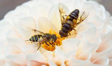 Procesamiento y envío de moscas de la fruta