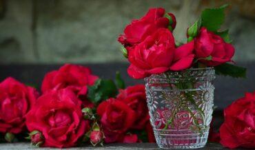 Cultivo de Rosa y desarrollo de brotes basales