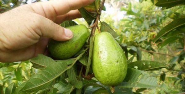 Cultivo-Guayaba
