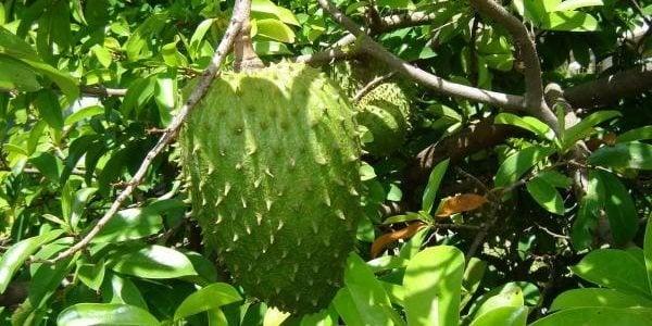 Cultivo-de-Guanabana