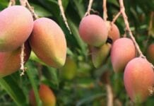 Cultivo-de-Mango