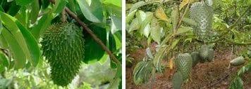 Cultivo de guanabana arbol