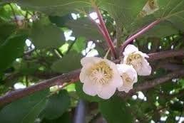 Flor de la guayaba