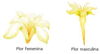 Flor femenina y masculina de la papaya