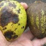 antracnosis del mango - Cultivo de Mango