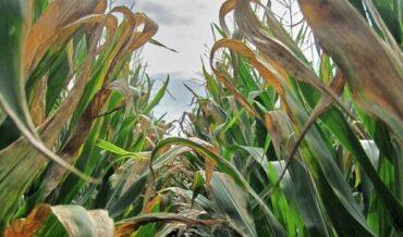 Enfermedad del maíz