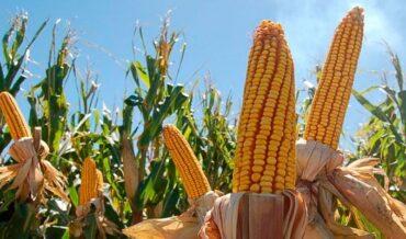 enfermedades que afectan el cultivo del maíz