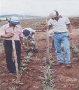 Fertilización de la piña