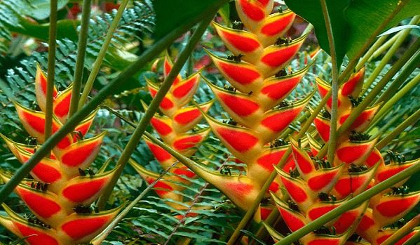 heliconia floricultura