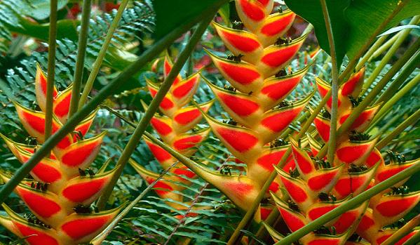 heliconia floricultura