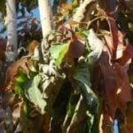 Seca del Mango - Cultivo de Mango