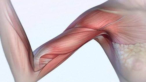 Identifican un Nuevo tipo de Células Madre de los Músculos