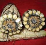 Pudrición Gris por Physalospora, infecciones tempranas