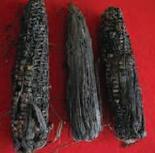 Pudrición Gris por Physalospora, abundantes esclerocios, enfermedades de la mazorca