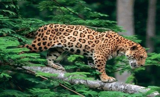 compromiso-conservar-jaguar