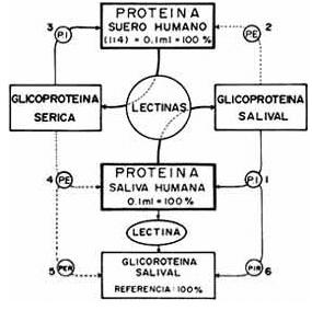 Estudio sistemático de glicoproteínas salivale