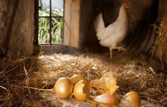 Crean Gallinas que ponen huevos con Medicinas