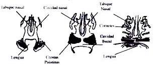 Descenso de la lengua y fusión de las crestas palatinas