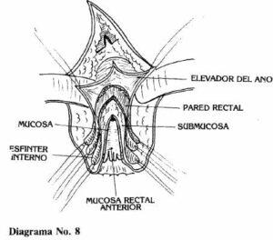 Se inciden luego las fibras musculares longitudinales
