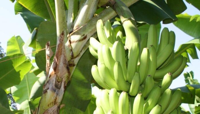 cultivos de plátano y mora