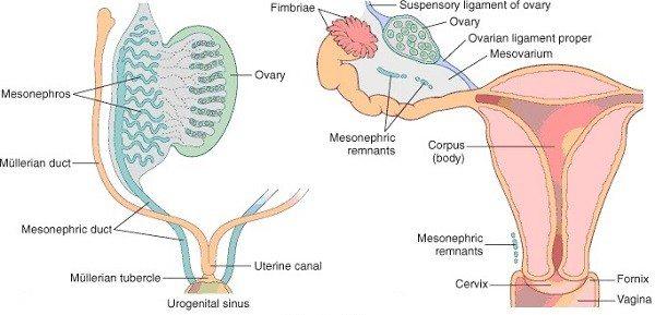 Hormonas Gonadales