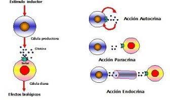 Las Citocinas