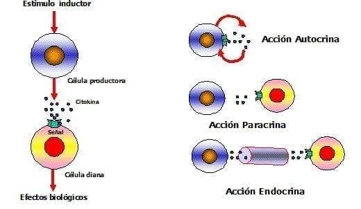 Citocinas Consulta Medica Salud Y Medicina
