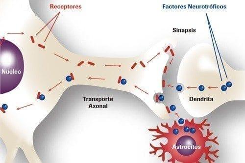 Factor Neurotrófico en ELA