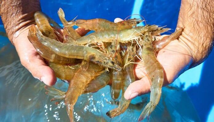 producción de camarón en Cartagena