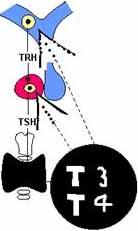 liberación de LH y FSH