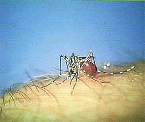 Mosquito Aedes aegypti - Fiebre amarilla