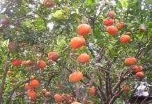 cultivos de cítricos