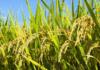 Incrementar las siembras de arroz