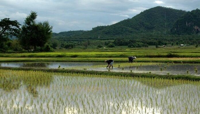 arroz bajo el agua